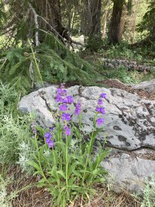 Rocky Mountain Penstemon