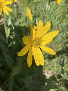 Single-head Sunflower